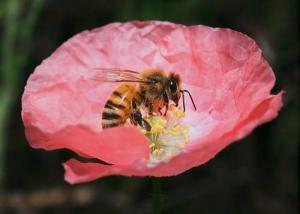 Medonosna čebela – najbolj znana opraševalka